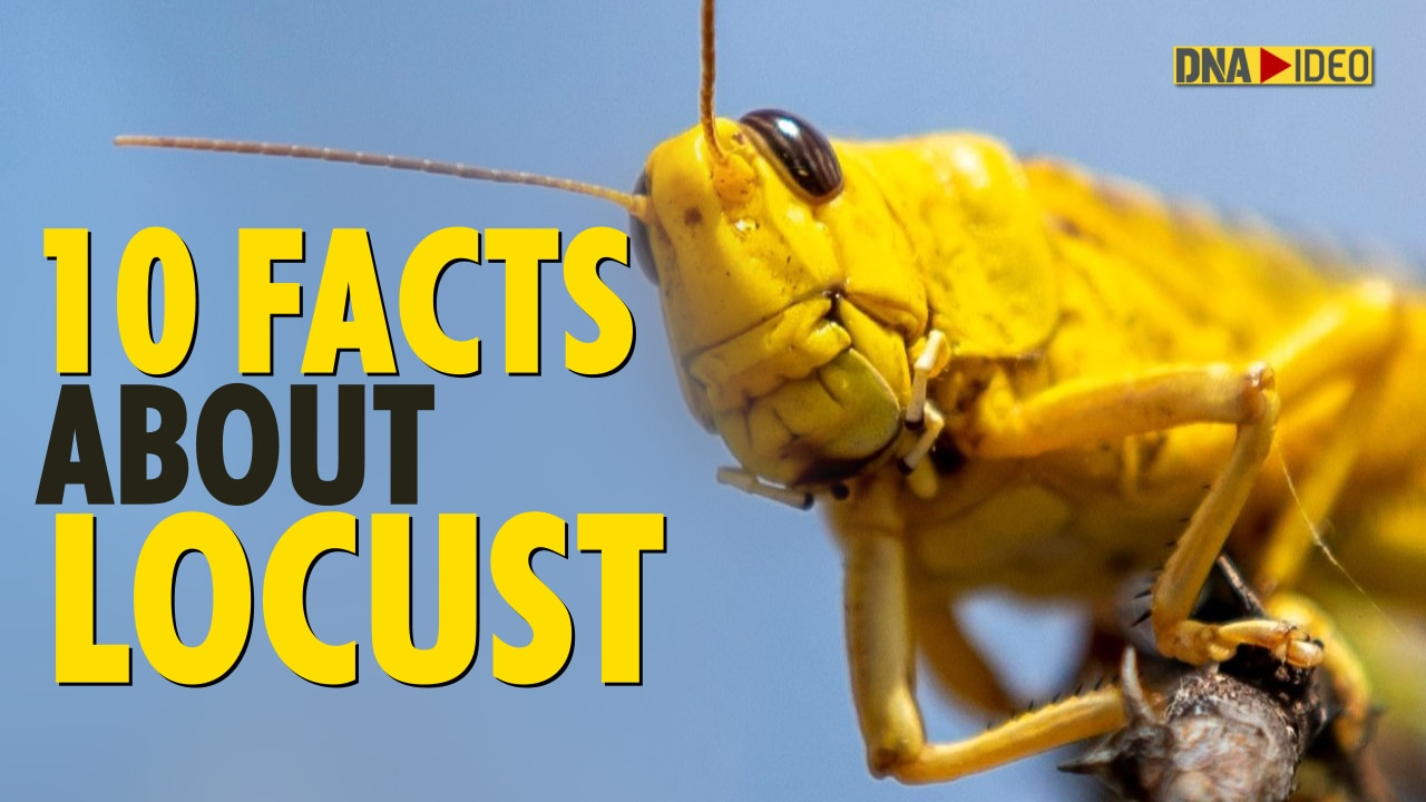Locust Attack: Did you know 80 million locusts can be in a swarm? 10 facts about locusts
