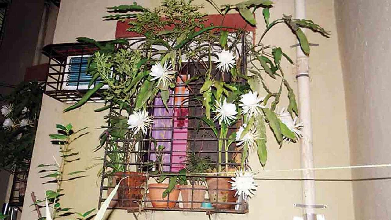 Brahma Kamal Flowers In Bloom
