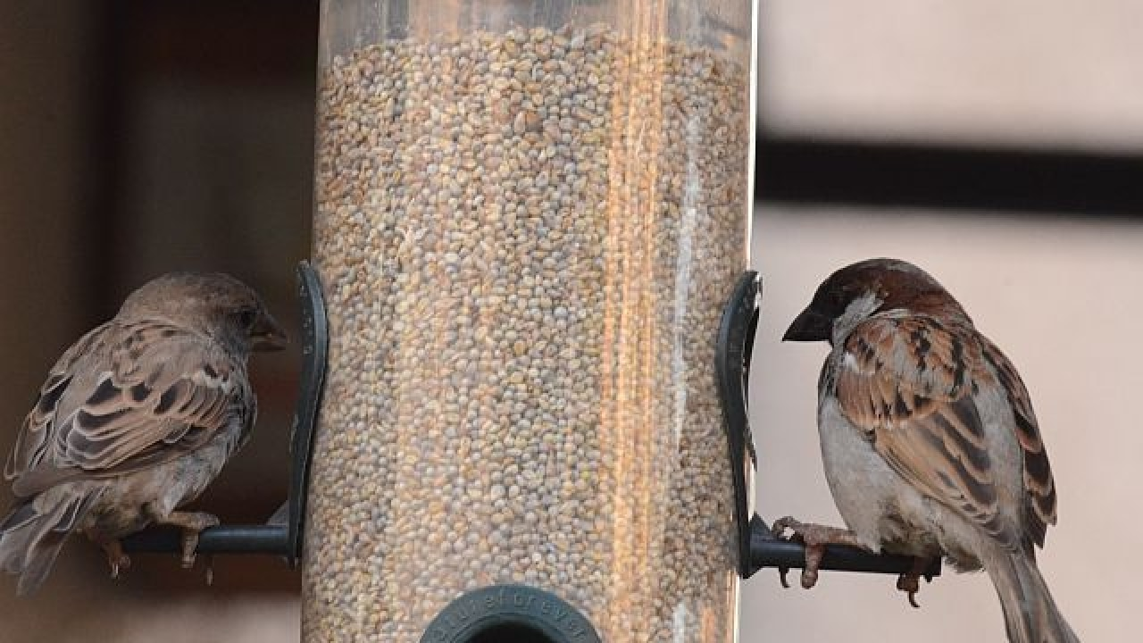 10 reasons why the sparrow is fast disappearing from Mumbai