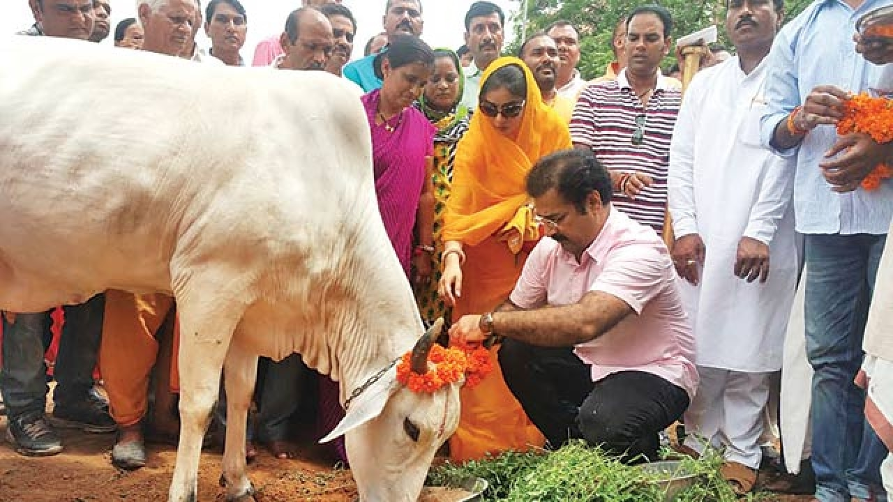 Declare cow the national animal of India: Rajasthan High Court