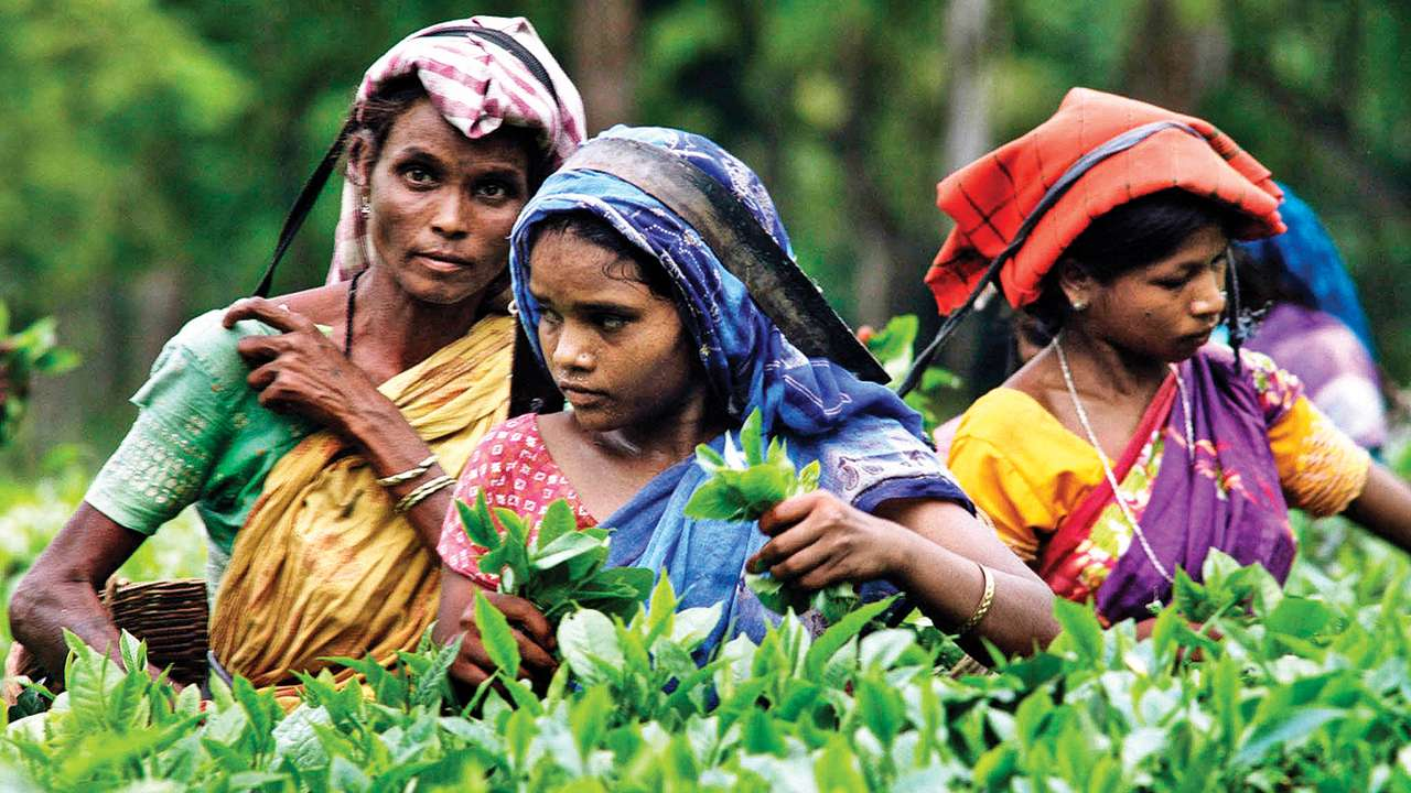 Garden to cup: Tea's illustrious journey