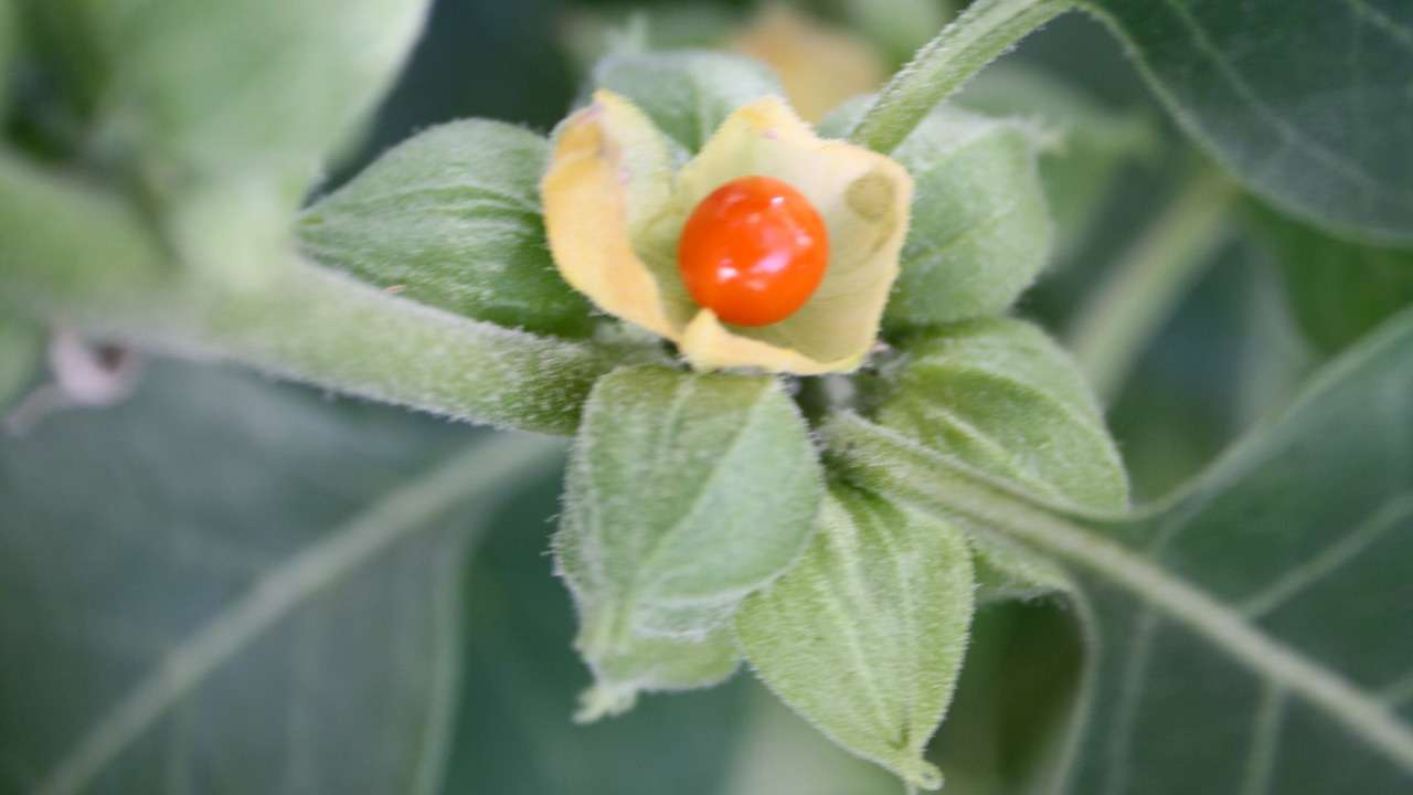 ashwagandha the wonder herb