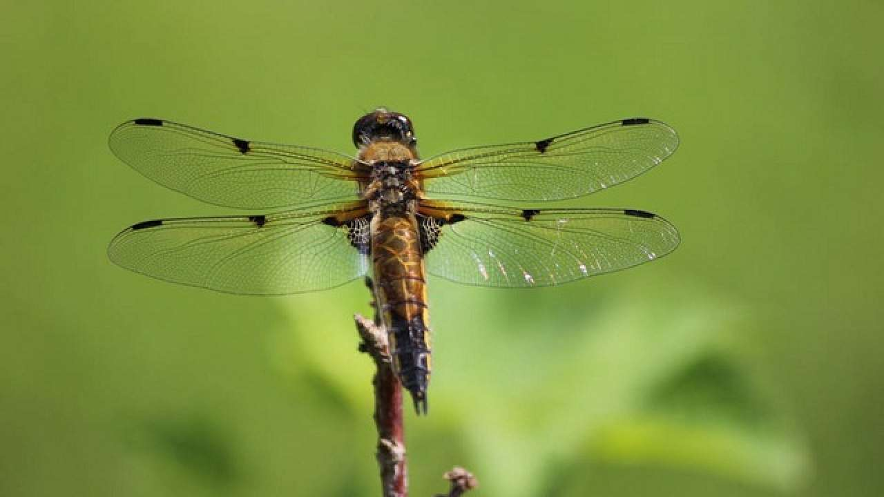Dragonfly wings inspire new generation of aerogels