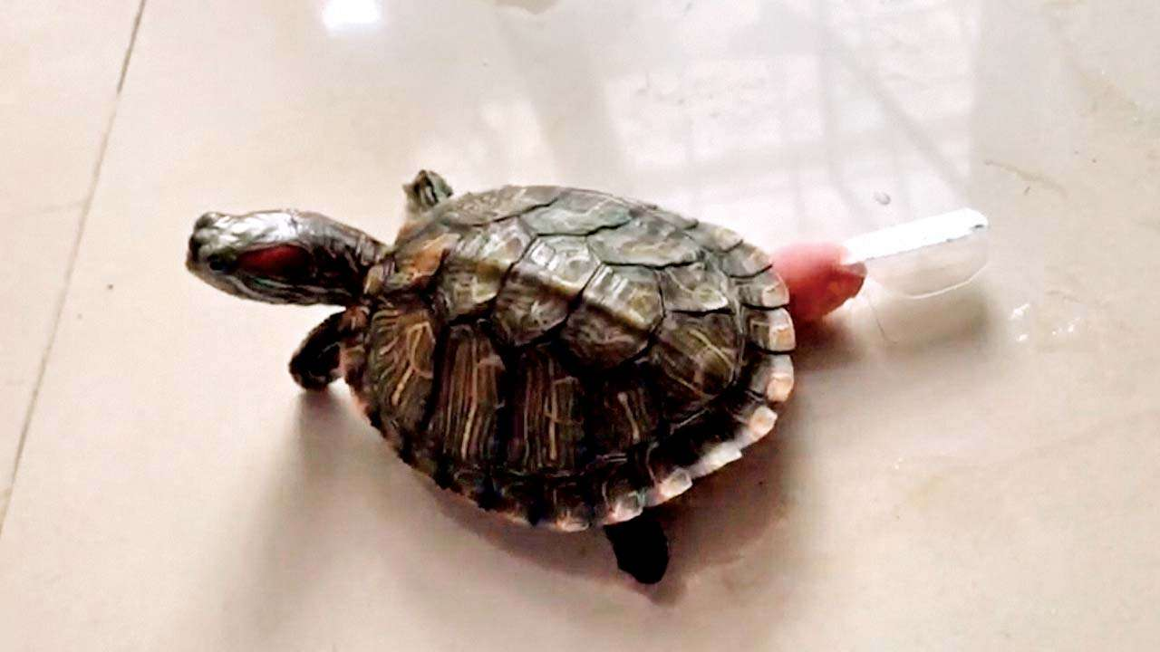 His Pet Turtle Crippled In Rat Attack Thane Man Gets Artificial Flippers For It
