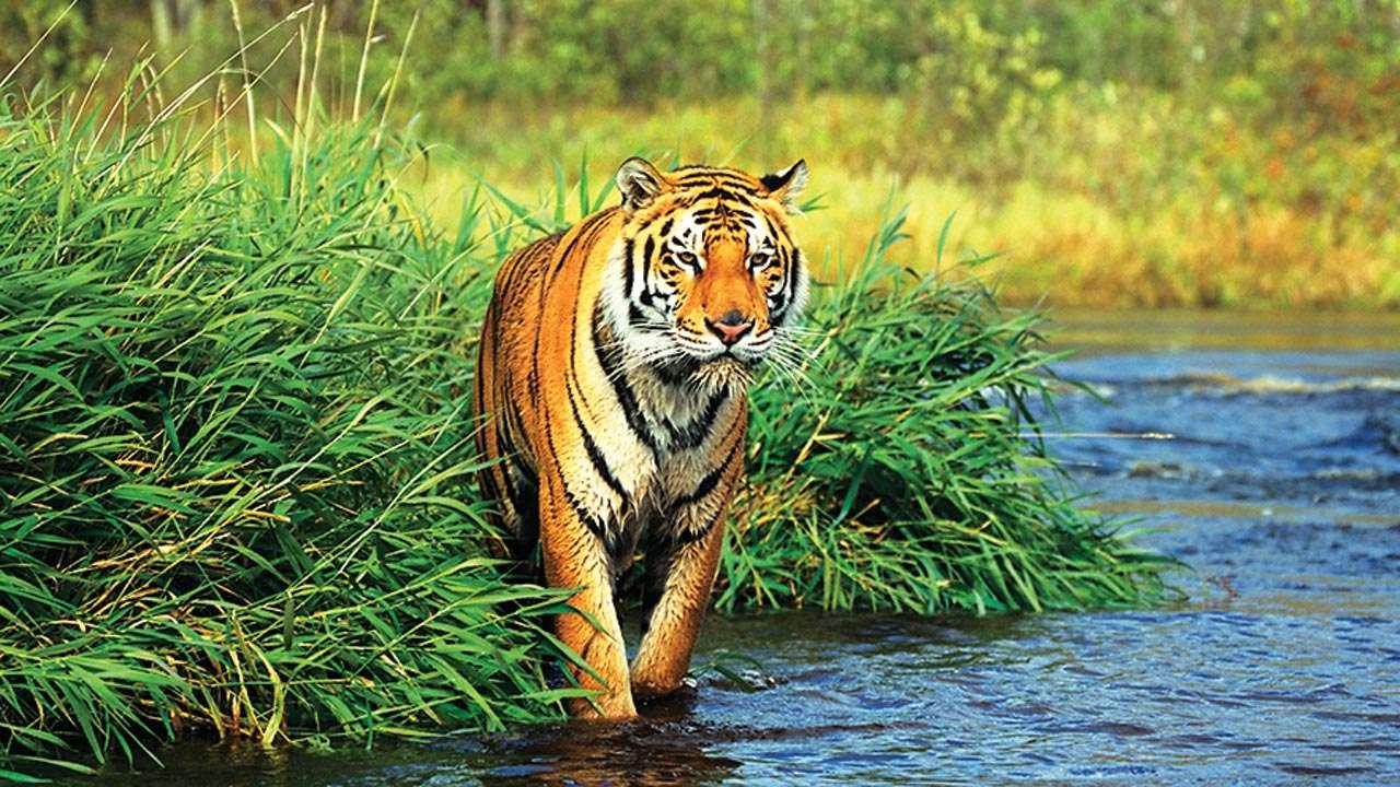 maharashtra tiger suspectedly poached in jalgaon rope found around