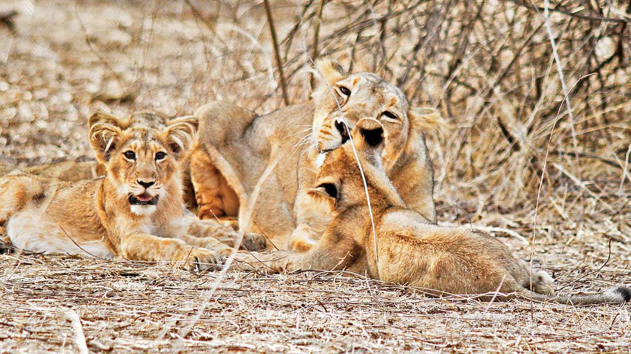 Lion deaths: Central team says to screen cats