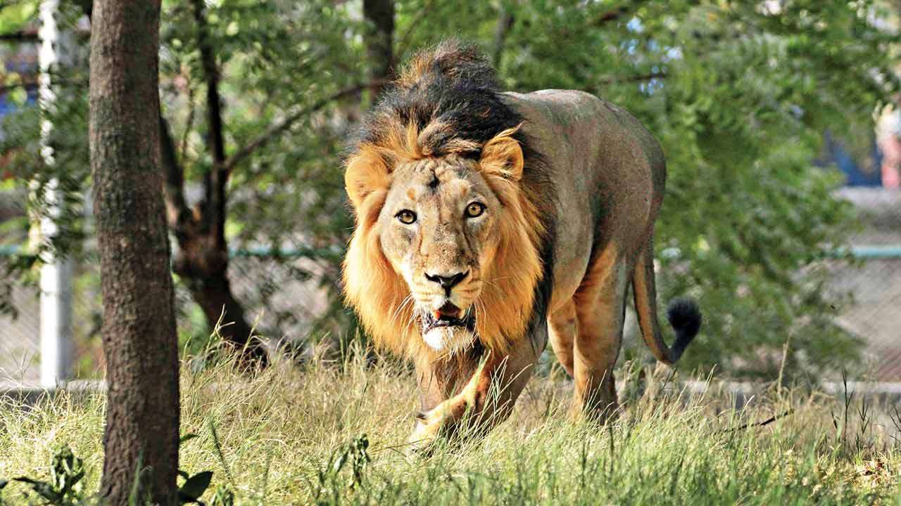Image result for Gir forest lion