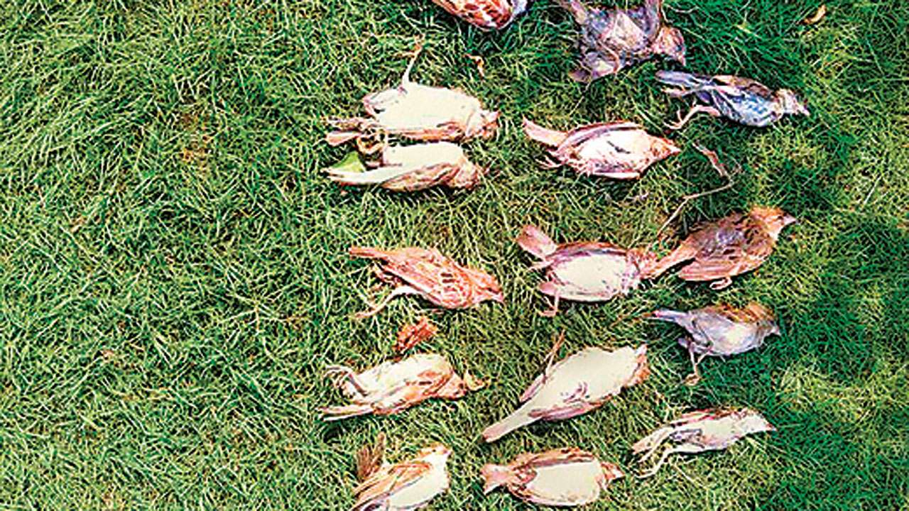 21 sparrows die in chemical company's garden at Boisar-Tarapur MIDC