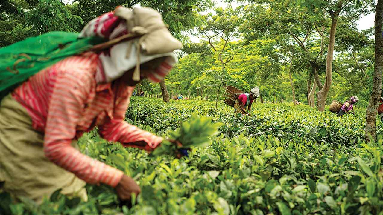 worlds primary tea producer - 1280×720