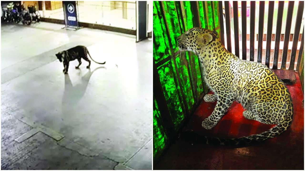 Leopard catwalks into Thane mall