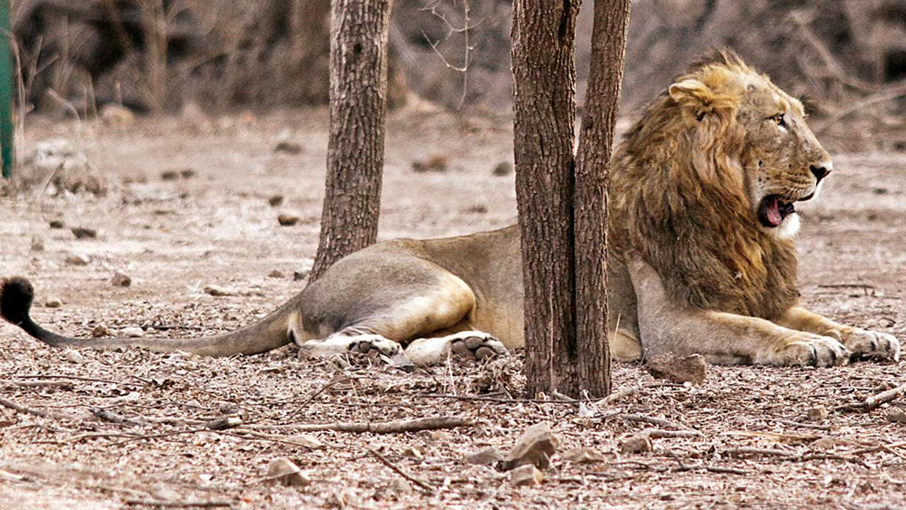 Rains delay lions' roar in Mumbai zoo