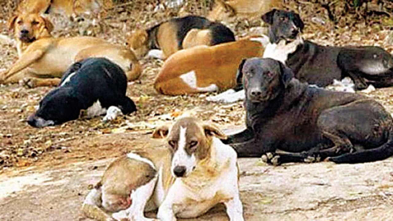 Ichalakaranji Stray dogs