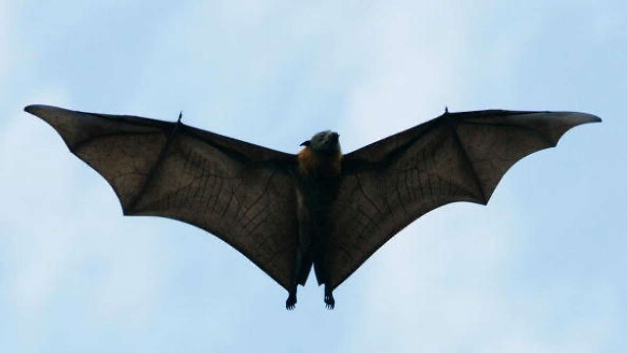 Wuhan lab was performing experiments on bats, likely source of COVID-19 outbreak: Report thumbnail