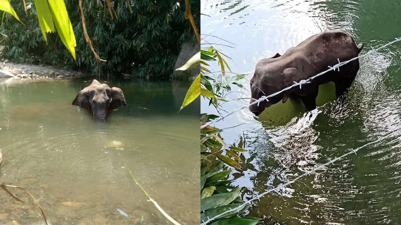 Horrifying! Pregnant elephant dies after being fed pineapple stuffed with crackers in Kerala