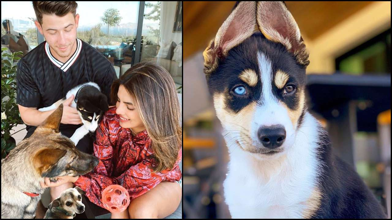 Priyanka Chopra-Nick Jonas adopt a Husky Australian Shepard mix breed dog, name him Panda