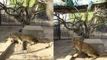 These images of malnourished African lions at Sudan Park will break yo...